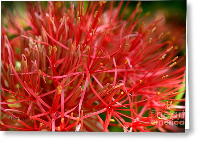 Multiflora Greeting Cards - Blood Lily Greeting Card by E B Schmidt