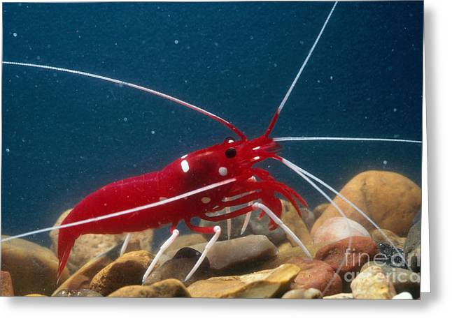 Malacostraca Greeting Cards - Blood Or Fire Shrimp Greeting Card by Gregory G. Dimijian, M.D.