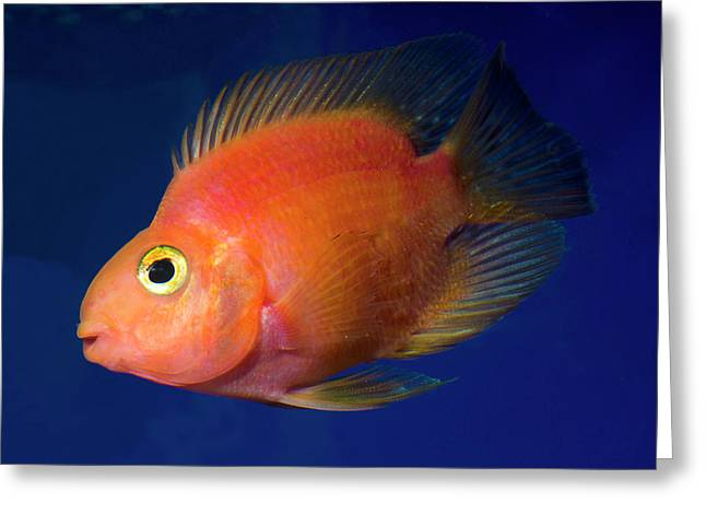 Blood Parrot Cichlid Greeting Card by Nigel Downer