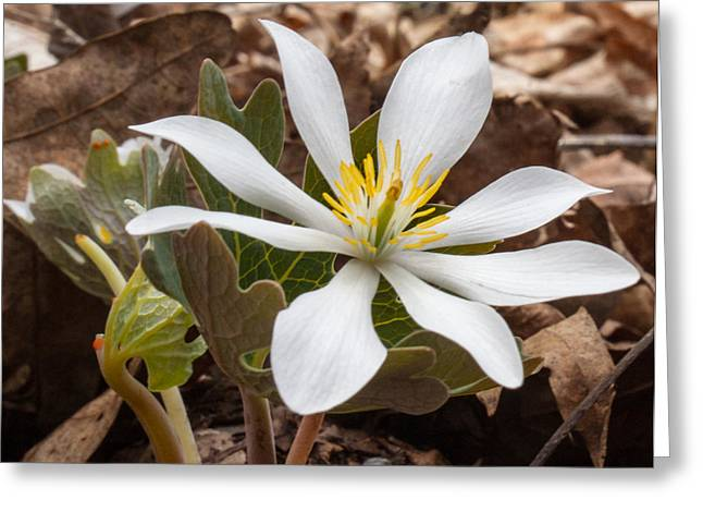 Bloodroot Greeting Cards - Blood Root 1 Greeting Card by Douglas Barnett