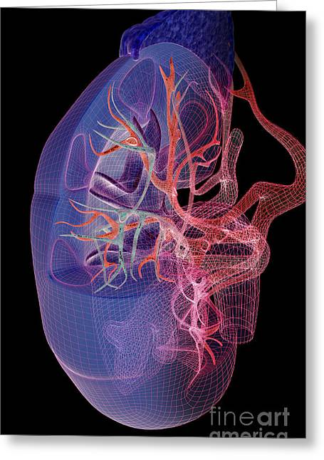 Adrenal Greeting Cards - Blood Supply Of The Kidneys Greeting Card by MedicalRF