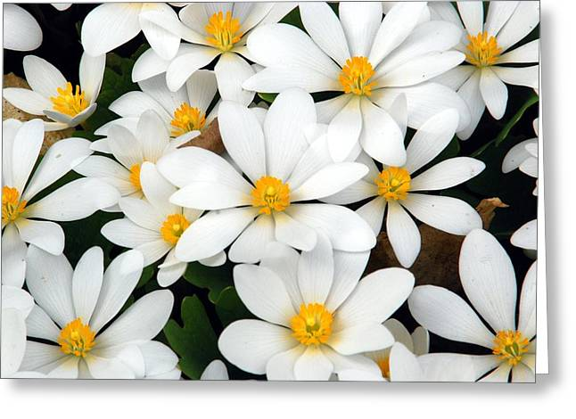 Bloodroot Greeting Cards - Bloodroot Blooms Greeting Card by Cascade Colors