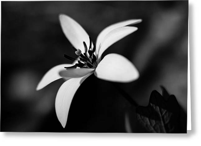 Bloodroot Greeting Cards - Bloodroot in Black and White Greeting Card by Penny Meyers