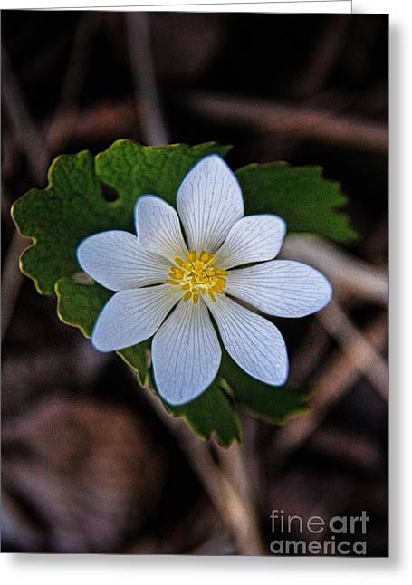 Short-lived Perennial Greeting Cards - Bloodroot Pretty Poison 2 Greeting Card by Henry Kowalski
