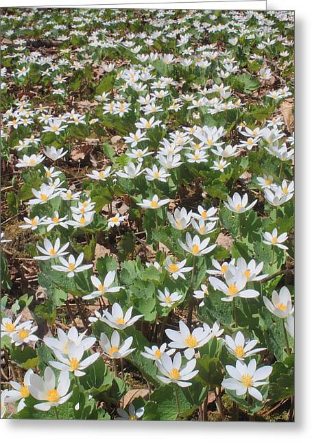 Westfield River Greeting Cards - Bloodroot Wildflower Colony Greeting Card by John Burk