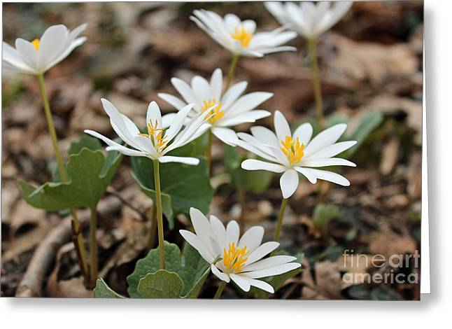 Bloodroot Greeting Cards - Bloodroot Wildflower - Sanguinaria canadensis Greeting Card by Mother Nature