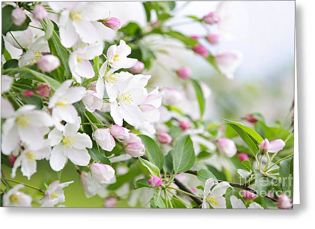 Apple Orchards Greeting Cards - Blooming apple tree Greeting Card by Elena Elisseeva