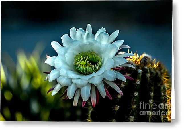 Blooming Argentine Giant Greeting Card by Robert Bales