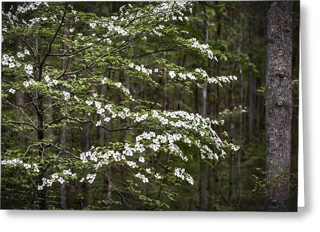 Smoky Digital Art Greeting Cards - Blooming dogwood tree in Smokey Mountains Greeting Card by Eduard Moldoveanu