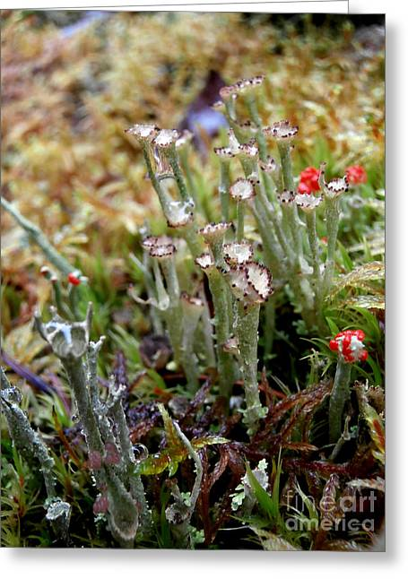 Blooming Lichen Greeting Card by Steven Valkenberg