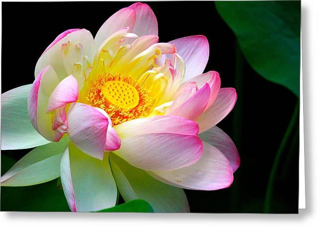 Lotus Full Bloom Greeting Cards - Blooming Lotus Flower Greeting Card by Neomi Haut