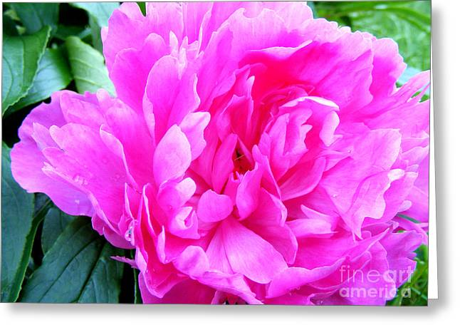 Sunlight On Flowers Greeting Cards - Blooming Magenta Peony Greeting Card by Barbara Griffin