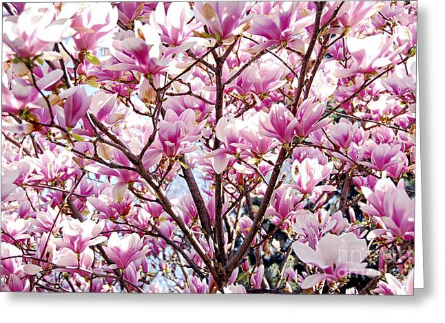 Pink Flower Branch Photographs Greeting Cards - Blooming magnolia Greeting Card by Elena Elisseeva