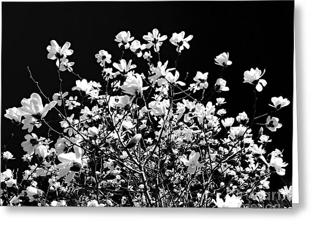 White Petals Greeting Cards - Blooming magnolia tree Greeting Card by Elena Elisseeva