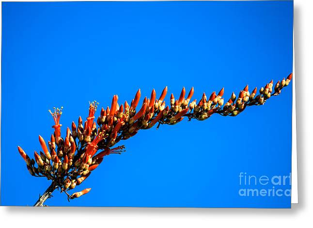 Haybale Photographs Greeting Cards - Blooming Ocotillo Greeting Card by Robert Bales