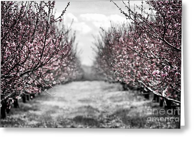 Peach Greeting Cards - Blooming peach orchard Greeting Card by Elena Elisseeva