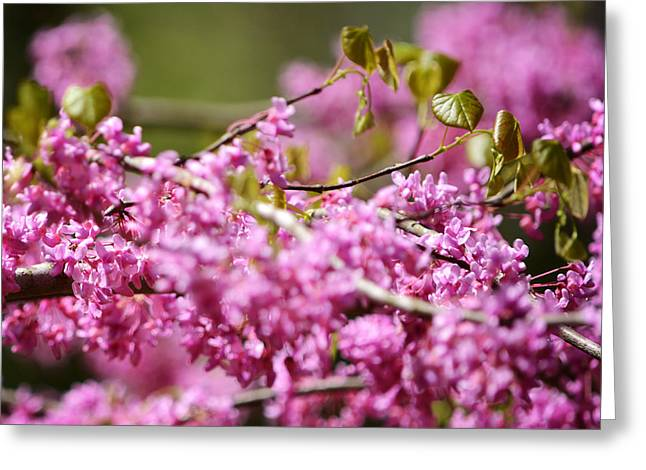 Cercis Greeting Cards - Blooming Redbud Tree Cercis canadensis Greeting Card by Rebecca Sherman
