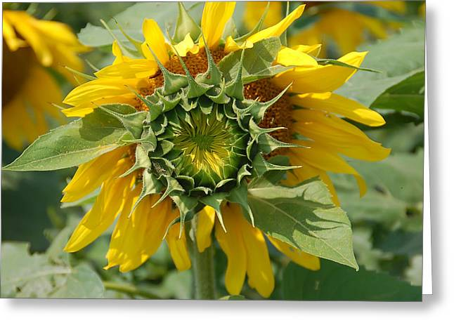Flower Garden Greeting Cards - Blooming Sunflower Greeting Card by Aimee L Maher Photography and Art