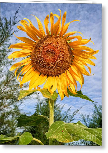 Stigma Greeting Cards - Blooming Sunflower V2 Greeting Card by Adrian Evans