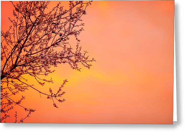 Apple Art Greeting Cards - Blooming tree on sunset background Greeting Card by Anna Omelchenko