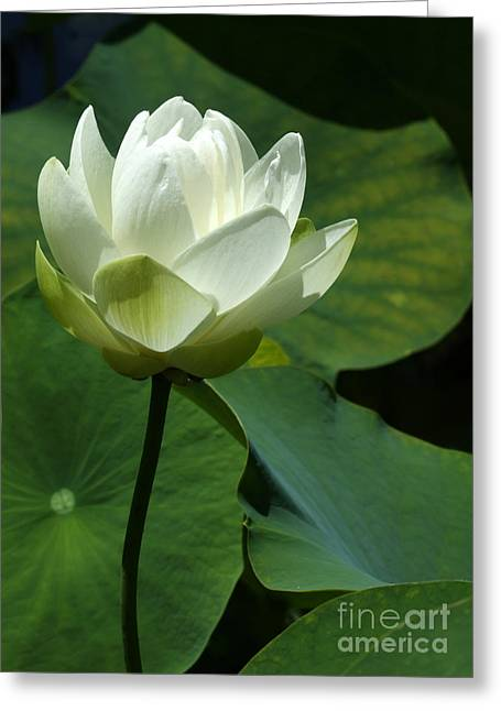 Blooming White Lotus Greeting Card by Sabrina L Ryan