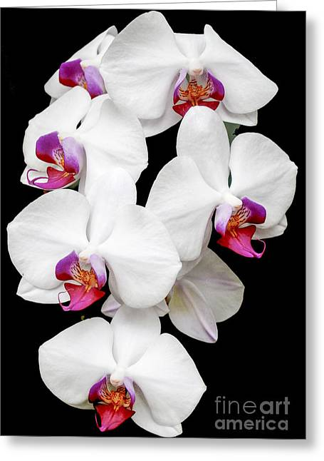Amirp Greeting Cards - Blooming white Orchid Greeting Card by Amir Paz