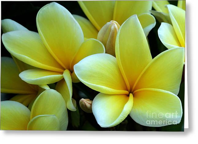 Florida Flowers Greeting Cards - Blooming Yellow Plumeria Greeting Card by Sabrina L Ryan