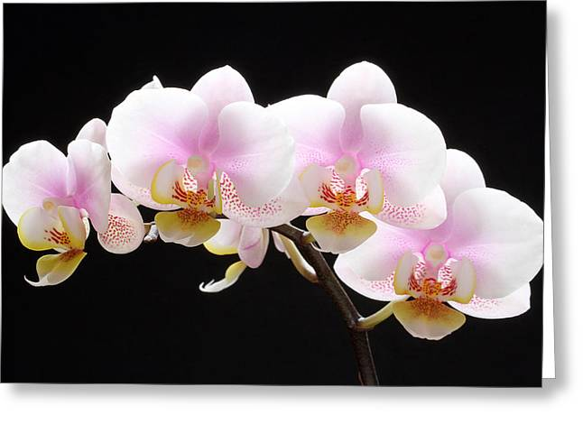 Orchid Artwork Greeting Cards - Blooms on Black Greeting Card by Juergen Roth
