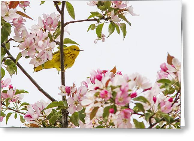 Warbler Greeting Cards - Blossom and bird Greeting Card by Mircea Costina Photography