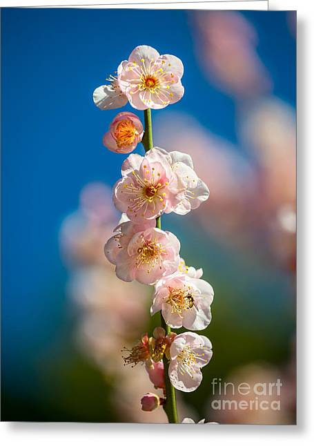 Apricot Tree Greeting Cards - Blossom Greeting Card by Jamie Pham