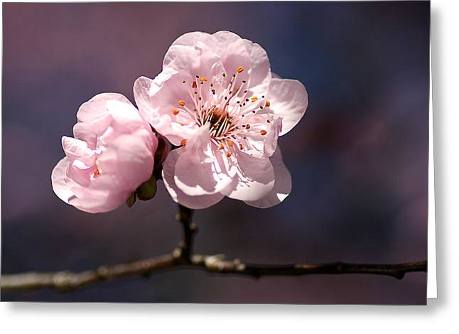 Blossom Greeting Card by Joy Watson