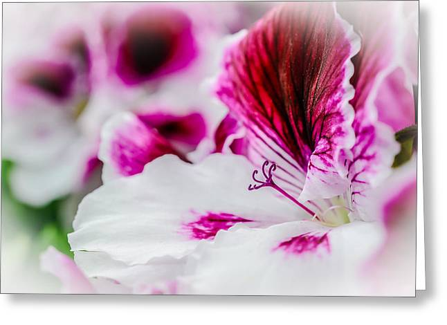 Leicht Greeting Cards - Blossom of Geranium Greeting Card by Annette Hanl