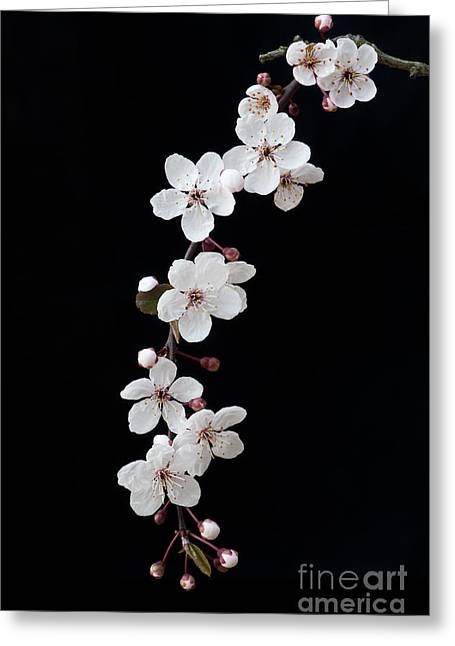 Deciduous Greeting Cards - Blossom on Black Greeting Card by Tim Gainey