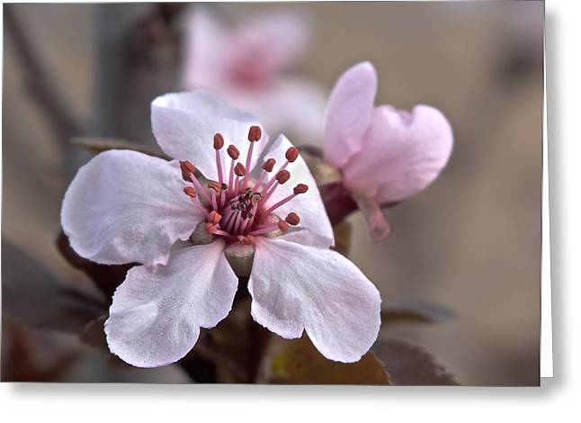 Lucinda Walter Greeting Cards - Blossom Time Greeting Card by Lucinda Walter