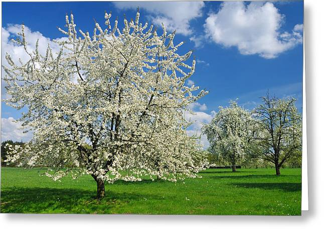 Fresh Green Greeting Cards - Blossoming trees in spring on green meadow Greeting Card by Matthias Hauser