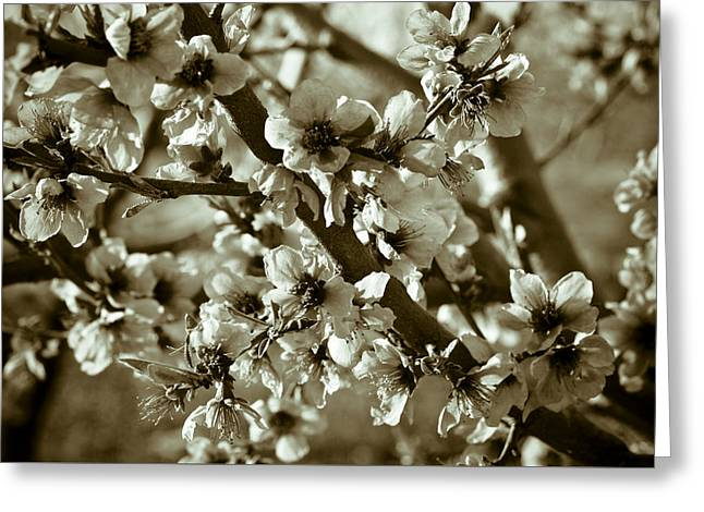 Fruit Tree Photographs Greeting Cards - Blossoms Greeting Card by Frank Tschakert
