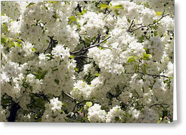 Botany Greeting Cards - Blossoms Greeting Card by Tony Cordoza
