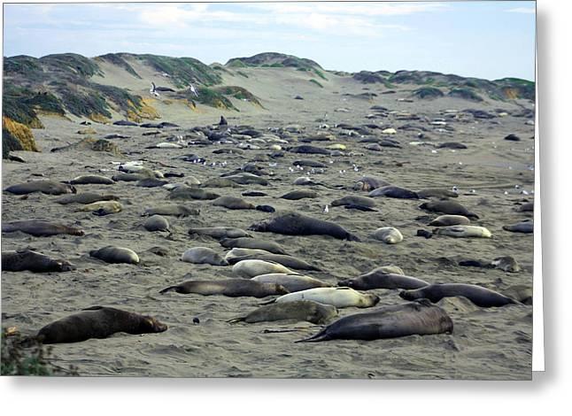 Elephant Seals Digital Greeting Cards - Blubber Beach Greeting Card by Joseph Wiegand