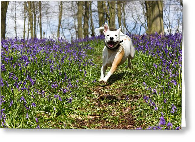 Staffie Greeting Cards - Blubell charge Greeting Card by Ian Hufton