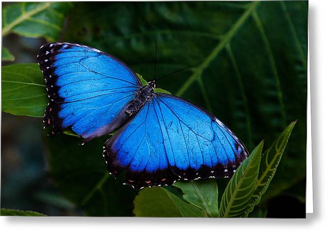 Blue And Black On Green Greeting Card by Karen Stephenson