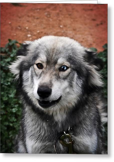 Huskies Mixed Media Greeting Cards - Blue and Brown Eyed Husky Greeting Card by Michael Braham