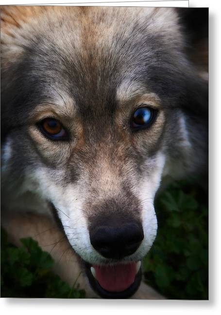 Husky Greeting Cards - Blue and Brown Eyed Husky - Series II Greeting Card by Michael Braham