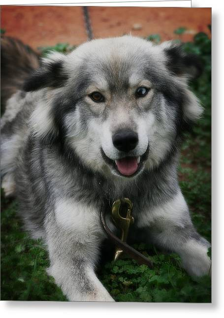 Huskies Mixed Media Greeting Cards - Blue and Brown Eyed Husky - Series VI Greeting Card by Michael Braham