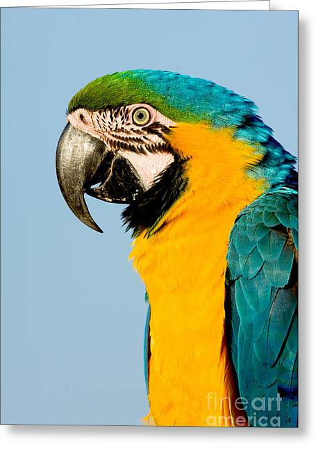 Blue And Yellow Macaw Greeting Cards - Blue And Gold Macaw Greeting Card by Anthony Mercieca