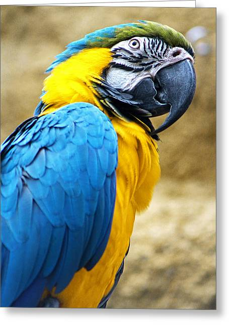 Temperament Greeting Cards - Blue and Gold Macaw Greeting Card by Beth Schultz Gagliano