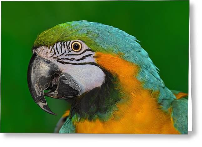 Wild Parrots Greeting Cards - Blue and Gold Macaw Greeting Card by Tony Beck