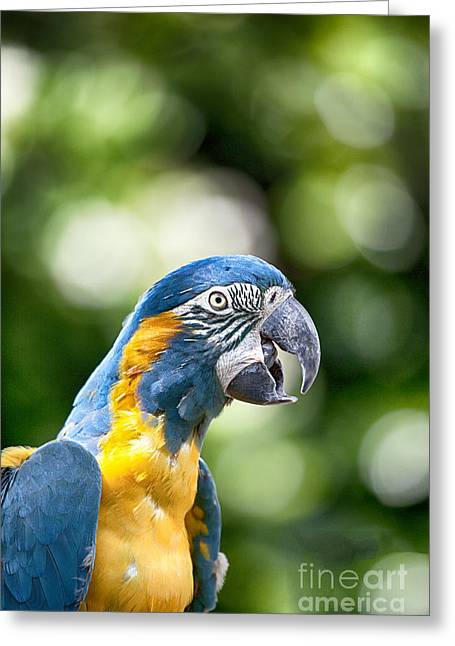 Macaw Greeting Cards - Blue and Gold Macaw V2 Greeting Card by Douglas Barnard