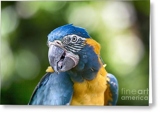 Macaw Greeting Cards - Blue and Gold Macaw V3 Greeting Card by Douglas Barnard