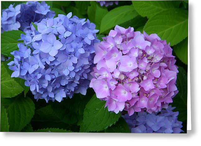 Botanical Greeting Cards - Blue and Lavender Greeting Card by Aimee L Maher Photography and Art