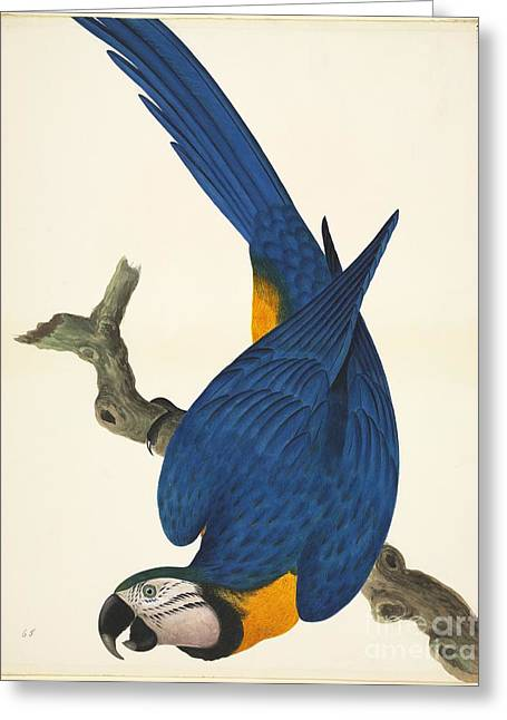 Blue And Yellow Macaw Greeting Cards - Blue-and-yellow Macaw, 19th Century Greeting Card by Natural History Museum, London